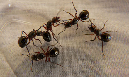 Getting rid of ants in your home – 3 fast and easy ways