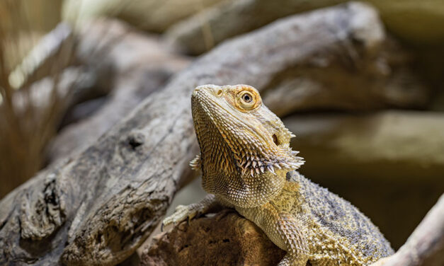 7 things to know before adopting a bearded dragon