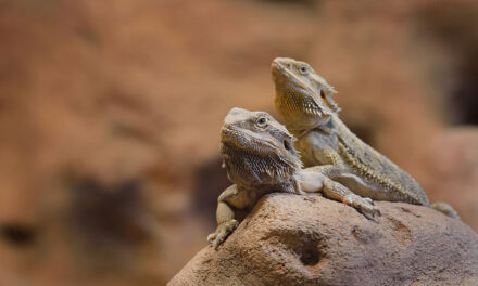 Tips to help you keep bearded dragons as pets