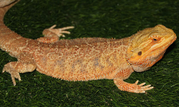 8 reasons beginner reptile owners should choose bearded dragons