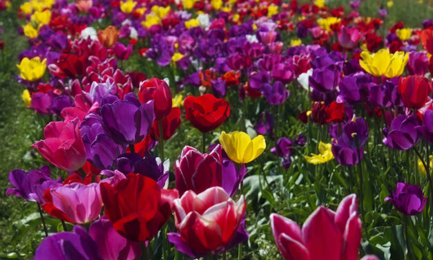 Everything you need to know about tulips