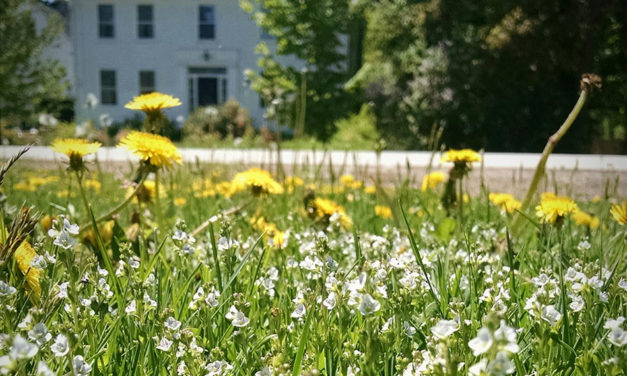 Dandelions maintenance and prevention
