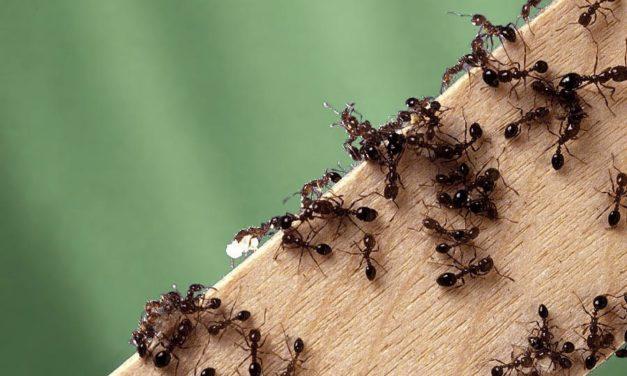 How to get rid of bullet ants in your garden