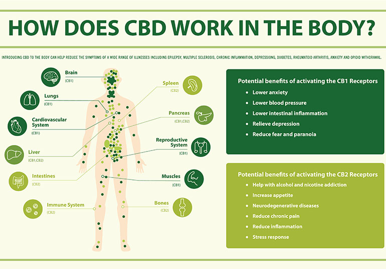 how cbd works infographic