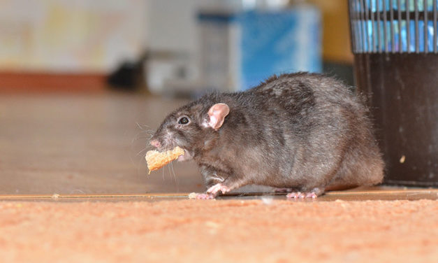 Tips for treating mice in your home
