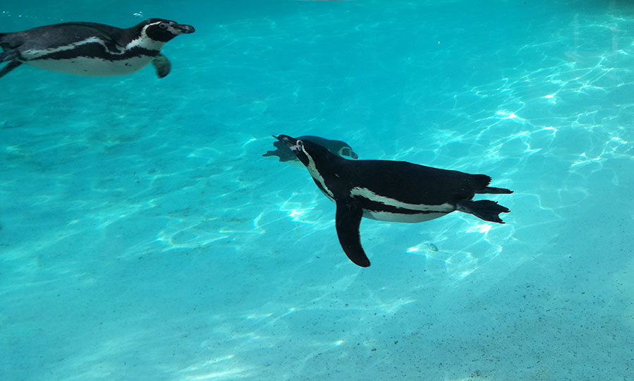 Diving penguins discovered 'talking' to each other