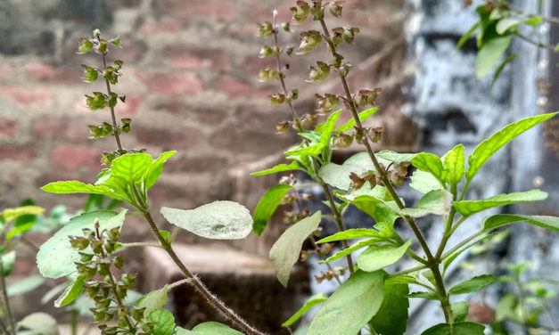 Tulsi is a wonder herb. These health benefits are a proof