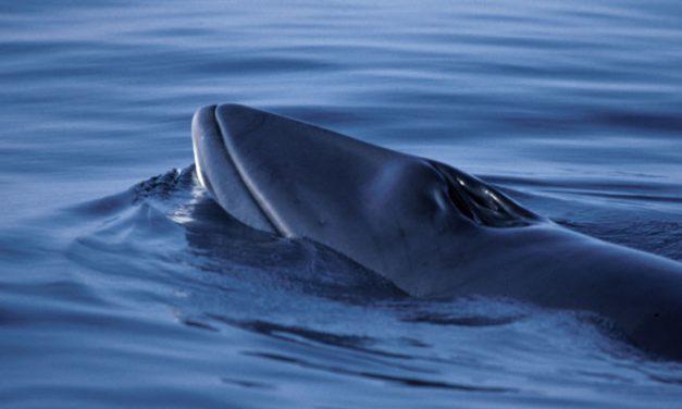 Scientific whaling?