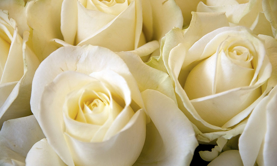 Where to find a rose that last a year